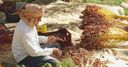 Tunisie- UTAP: Cette année le prix du kilogramme de dattes ne dépassera pas 6500 Millimes