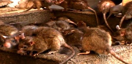 Tunisie – Zarzis : L'invasion des rats est plus grave qu'on le craignait