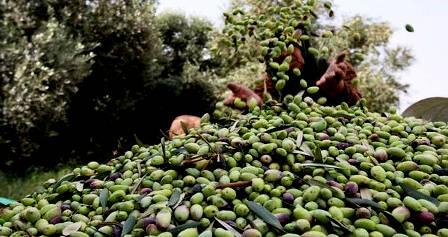 Tunisie : Hausse de 30% de la récolte des olives à Médenine