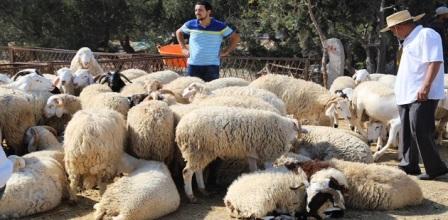 Tunisie – Nette diminution des achats par les tunisiens, des moutons pour l'Aïd