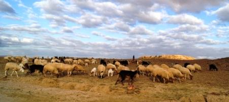 Tunisie – Dhehiba: Les agriculteurs affolés par une épidémie des moutons venant du côté libyen