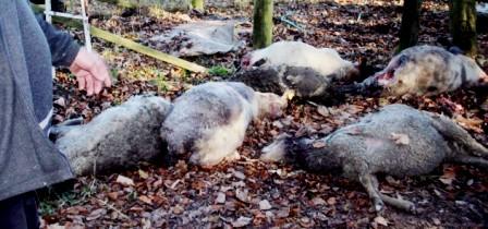 Tunisie – Tajerouine: Interception d'une vingtaine de moutons morts qui devaient être certifiés à l'abattoir pour être revendus aux consommateurs