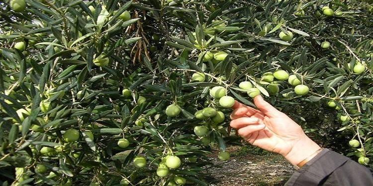 Tunisie : Baisse des prix des olives- Des agriculteurs de Jelma observent un sit-in