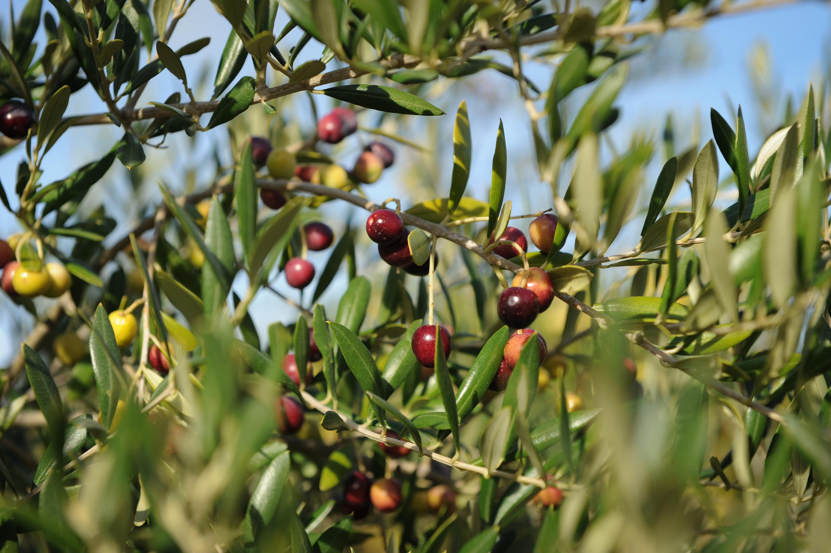 Tunisie : Taux d'avancement de la cueillette des olives à Siliana