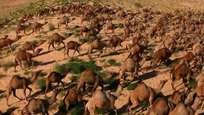 10 000 dromadaires seront abattus à cause de la sécheresse — Australie