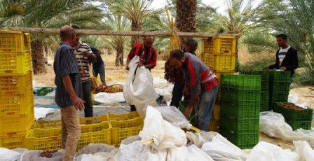 Tunisie – Tozeur: Le manque de caisses en plastique met en péril la récolte des dattes