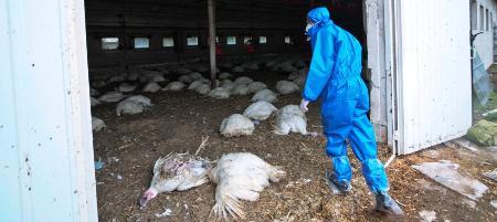 L'Algérie touchée par la grippe aviaire hautement pathogène?