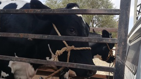 Tunisie:  17 bovins destinés à la contrebande saisis à Jendouba