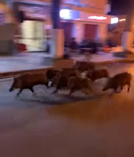 Hammam Lif : La nuit tombée, des sangliers arpentent les avenues principales