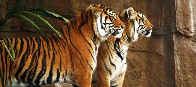 Covid19: Les USA commencent à vacciner les animaux de leurs zoos