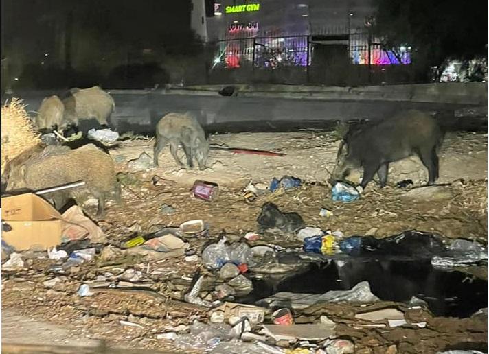 Des sangliers à la cité Ennasr: Un spectacle devenu habituel