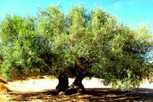 le tunisien entre son olivier et son jasmin part 184462. Black Bedroom Furniture Sets. Home Design Ideas