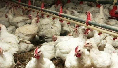 Tunisie sfax les levages de volailles en proie une for Les maladies des volailles