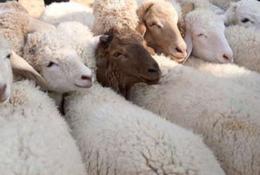 Tunisie: 910.000 moutons disponibles pour l'Aid